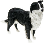 Border Collie Standing